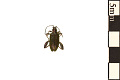 View Aquatic Leaf Beetle digital asset number 0