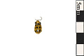 View Spotted Cucumber Beetle digital asset number 0