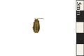 View Elm Leaf Beetle digital asset number 0