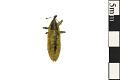 View Rhubarb Curculio, Weevil digital asset number 0