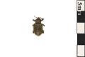View Clover Leaf Weevil digital asset number 0