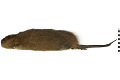 View Common Muskrat, Muskrat digital asset number 0