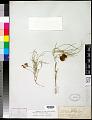 View Astragalus ceramicus E. Sheld. digital asset number 0