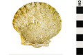 View Round-rib Scallop, Ravenel's Scallop digital asset number 0