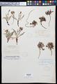 View Crepis occidentalis Nutt. digital asset number 0