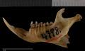 View Urocitellus mollis mollis digital asset number 3