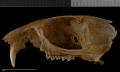 View Urocitellus mollis mollis digital asset number 8