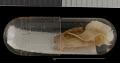 View Xerospermophilus spilosoma obsoletus digital asset number 7
