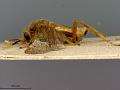 View Phyllotoma flavescens Marlatt, 1898 digital asset number 3