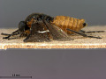 View Phyllotoma infumata Marlatt, 1898 digital asset number 3