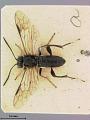 View Macrophya japonica Marlatt, 1898 digital asset number 0
