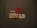 View Macrophya japonica Marlatt, 1898 digital asset number 2