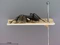 View Macrophya japonica Marlatt, 1898 digital asset number 3