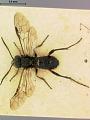 View Macrophya nigra Marlatt, 1898 digital asset number 0