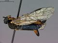 View Odontophyes bicoloripes digital asset number 3