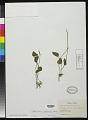 View Ophioglossum petiolatum Hook. digital asset number 0