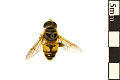 View Flower Fly digital asset number 0