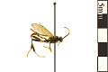 View Ichneumonid Wasp digital asset number 0