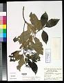 View Tarenna gracilipes (Hayata) Ohwi digital asset number 0