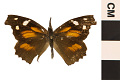 View American Snout Butterfly digital asset number 0