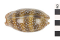 View Little Deer Cowrie, Panamanian Deer Cowrie, Panamanian Deer Cowrie digital asset number 0
