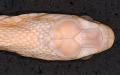 View Dasypeltis fasciata digital asset number 4