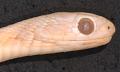 View Dasypeltis fasciata digital asset number 2