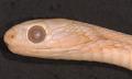 View Dasypeltis fasciata digital asset number 3