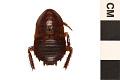 View Florida Cockroach digital asset number 0