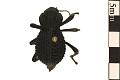 View Blue Death Feigning Beetle digital asset number 0