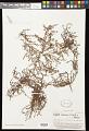 View Centipeda minima (L.) A. Braun & Asch. digital asset number 0