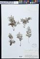 View Vandenboschia maxima (Blume) Copel. digital asset number 0