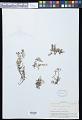 View Crepidomanes humilis (G. Forst.) Bosch digital asset number 0