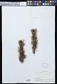 View Polyphlebium endlicherianum (C. Presl) Ebihara & K. Iwats. digital asset number 0