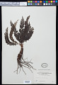 View Cephalomanes atrovirens subsp. boryanum (Kunze) K. Iwats. digital asset number 0