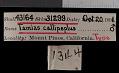 View Tamias speciosus callipeplus digital asset number 0