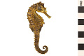 View Lined Seahorse, Atlantic Seahorse digital asset number 0