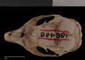 View Tamias quadrimaculatus digital asset number 7