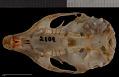 View Tamias quadrimaculatus digital asset number 9