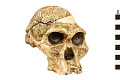 View STS 5, Fossil Hominid digital asset number 0