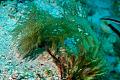 View Halymenia floresia (Clemente) C. Agardh digital asset number 4
