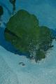 View Udotea occidentalis A. Gepp & E. Gepp digital asset number 1