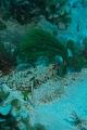 View Penicillus dumetosus (J.V. Lamour.) Blainv. digital asset number 1