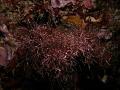 View Gelidiopsis scoparia (Mont. & Millardet) De Toni digital asset number 1