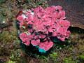 View Mesophyllum sp. digital asset number 0