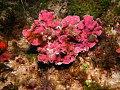 View Mesophyllum sp. digital asset number 1