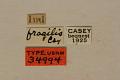 View Hapalosalia vibex fragilis Casey, 1913 digital asset number 0