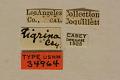 View Strophiona tigrina Casey, 1913 digital asset number 0
