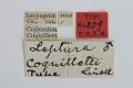 View Leptura coquilletti Linell, 1897 digital asset number 1