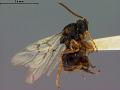 View Diastrophus smilacis digital asset number 3